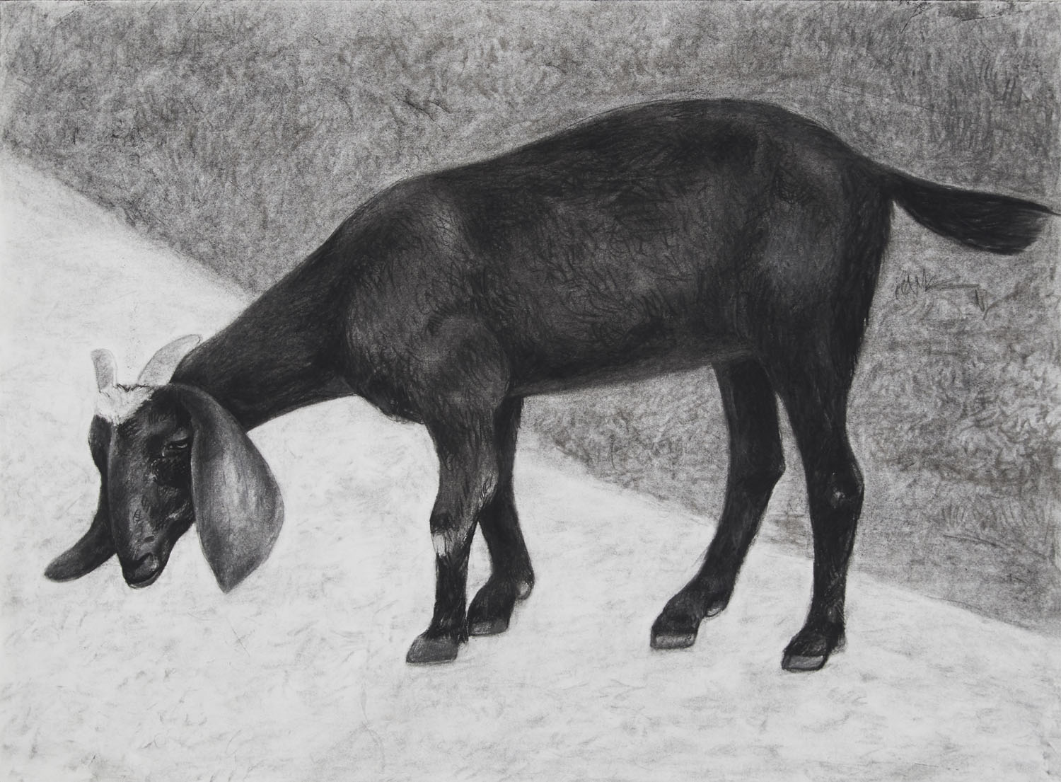 Black Goat in the Summer 2019